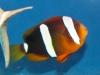 thumbs_hybrid-tomato-clarki-clownfish-hybrid.jpg