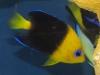 thumbs_joculator-angelfish.jpg