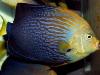 thumbs_maze-angelfish-chaetodontoplus-10.jpg