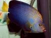 thumbs_maze-angelfish-chaetodontoplus-11.jpg