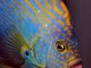 thumbs_maze-angelfish-chaetodontoplus-12.jpg