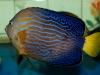 thumbs_maze-angelfish-chaetodontoplus-3.jpg