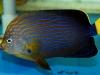 thumbs_maze-angelfish-chaetodontoplus-4.jpg