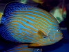 thumbs_maze-angelfish-chaetodontoplus-5.jpg