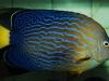 thumbs_maze-angelfish-chaetodontoplus-6.jpg