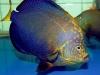 thumbs_maze-angelfish-chaetodontoplus-7.jpg