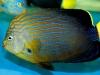 thumbs_maze-angelfish-chaetodontoplus-8.jpg