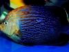 thumbs_maze-angelfish-chaetodontoplus-9.jpg
