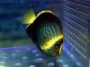 thumbs_maze-angelfish-chaetodontoplus.jpg