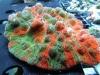 thumbs_meltdown-chalice-coral-3.jpg