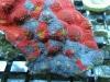 thumbs_motorcity-mayhem-chalice-coral-3.jpg