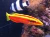 thumbs_neon-hogfish.jpg