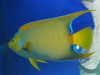 thumbs_queen-angelfish-adult.jpg