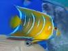 thumbs_queen-angelfish-juvenile.jpg