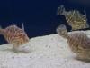 thumbs_radiated-filefish.jpg