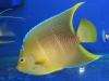thumbs_townsend-angelfish.jpg
