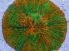 thumbs_wys-green-orange-fungia.jpg