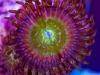 thumbs_zoanthid-macro-photo-12.jpg