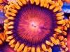 thumbs_zoanthid-macro-photo-3.jpg