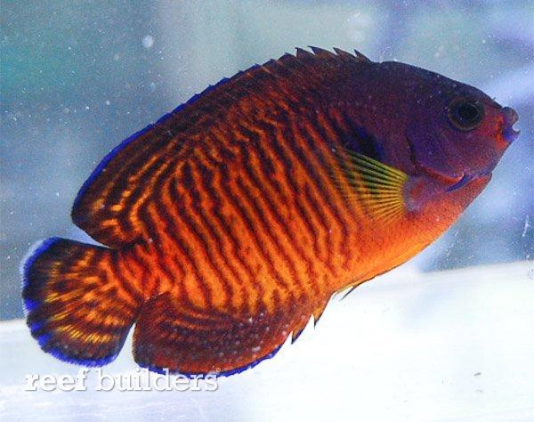 tiger-tail-coral-beauty-angelfish-2.jpg
