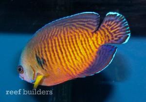 tigertail-coral-beauty-21-300x211.jpg