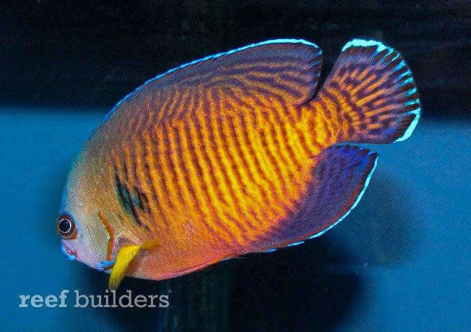 tigertail-coral-beauty-21.jpg