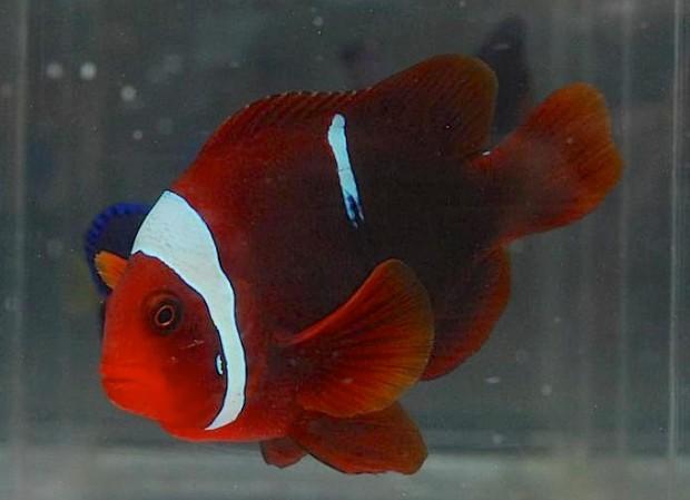 tomato-maroon-clownfish-2-620x449.jpg