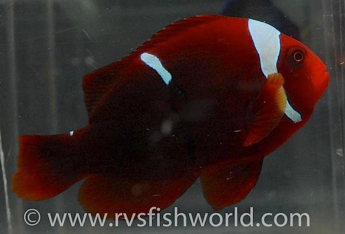 tomato-maroon-clownfish.jpg