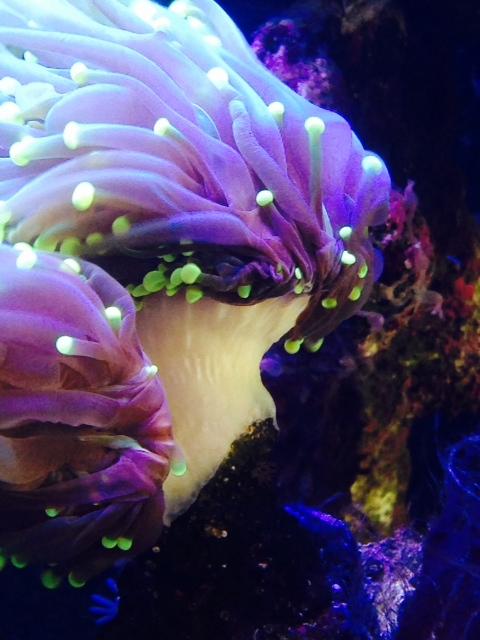 Torch Coral 01.jpeg