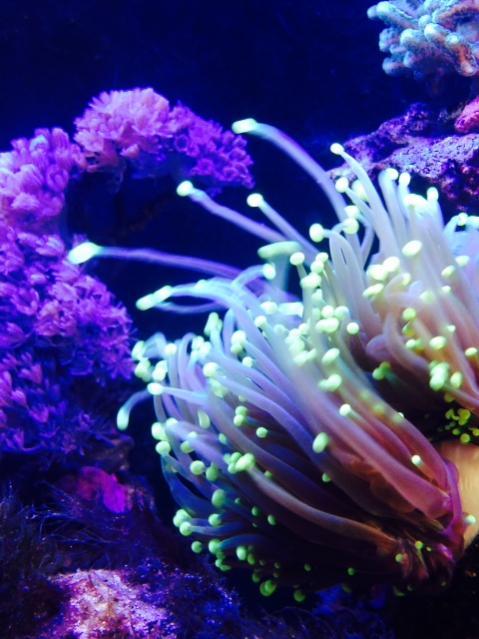Torch Coral 02.jpg