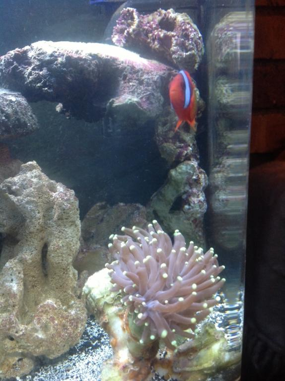 torch coral and tomato clown.jpg
