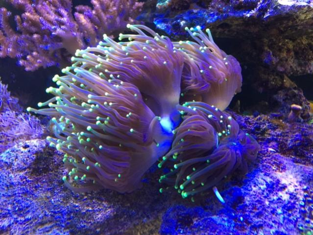 Torch Coral.jpg