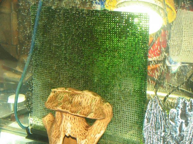 how to get rid of bubble algae in marine aquarium