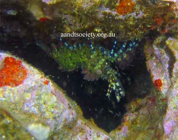 urchin-shrimp-.jpg