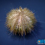 variegated-sea-urchin-150x150.jpg