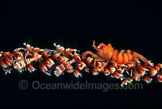 whip-shrimp-24M0466-42.jpg
