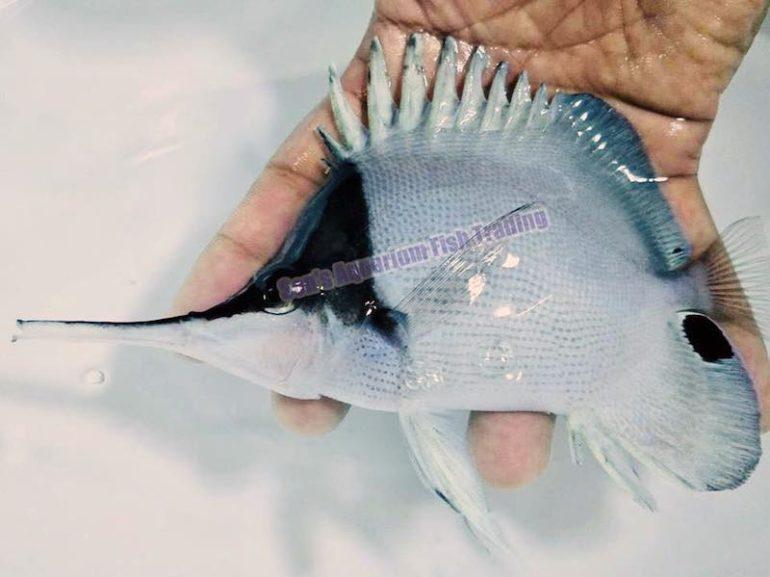 white-longnose-butterflyfish-770x577.jpg