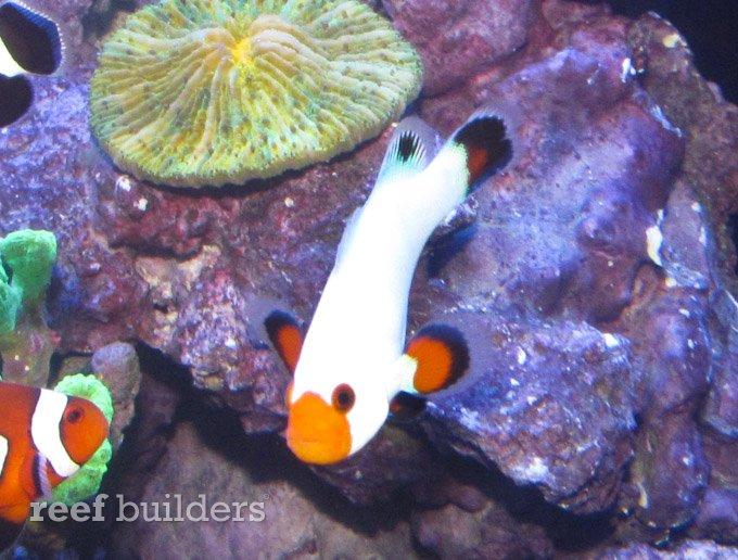 wyoming-white-clownfish-3.jpg