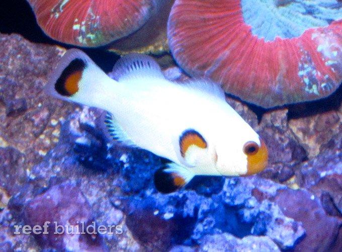 wyoming-white-clownfish-4.jpg