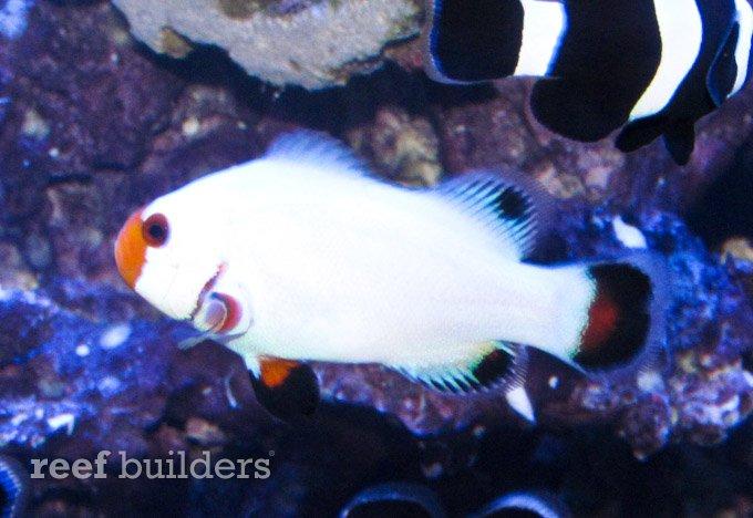 wyoming-white-clownfish-5.jpg
