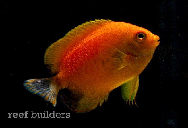 xanthic-potters-angelfish.jpg