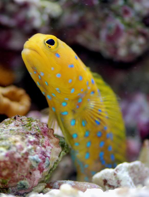 yellow-blue-spotted-jawfish-2.jpg