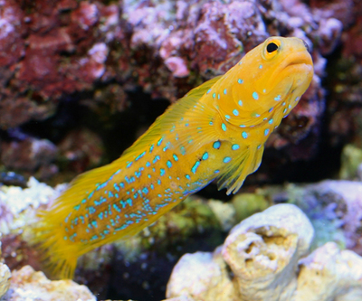 yellow-blue-spotted-jawfish-3.jpg