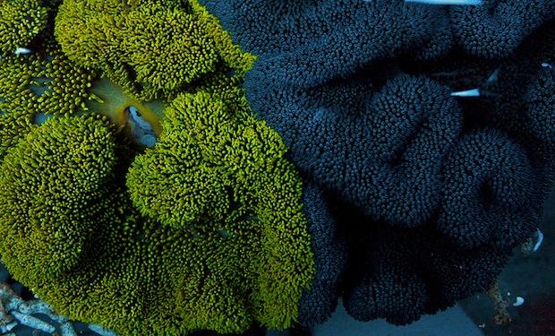 yellow-carpet-anemone-2.jpg