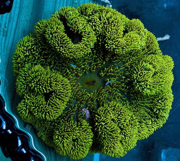 yellow-carpet-anemone.jpg