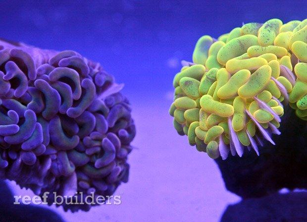 yellow-hammer-coral-2.jpg