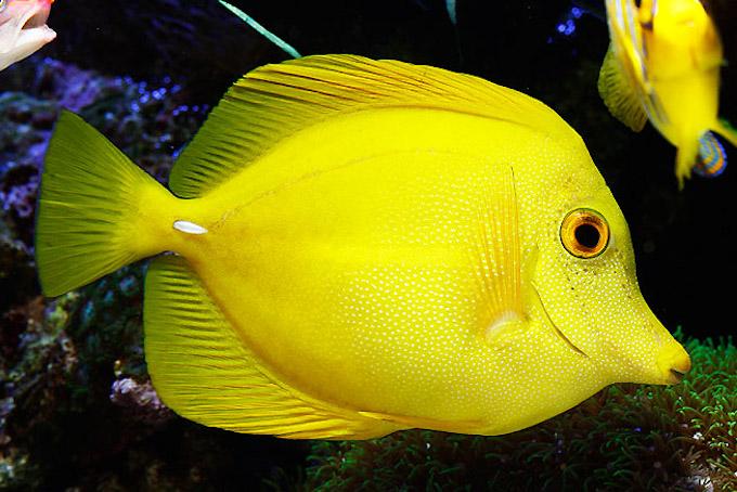 yellow-scopas-tang-1.jpg