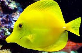 yellow tang.jpg