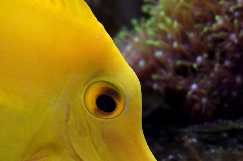 yelloweye-1.jpg