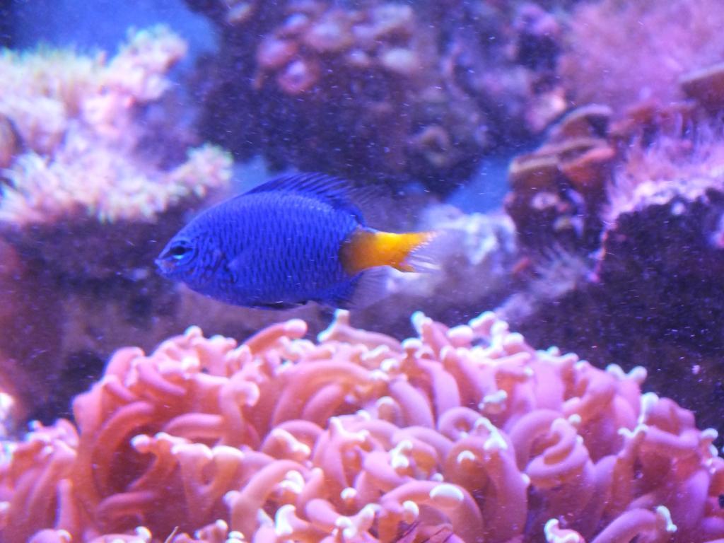 Yellowfin blue damsel.jpg